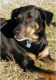 Palmer-black and tan shepherd-rottweiler cross